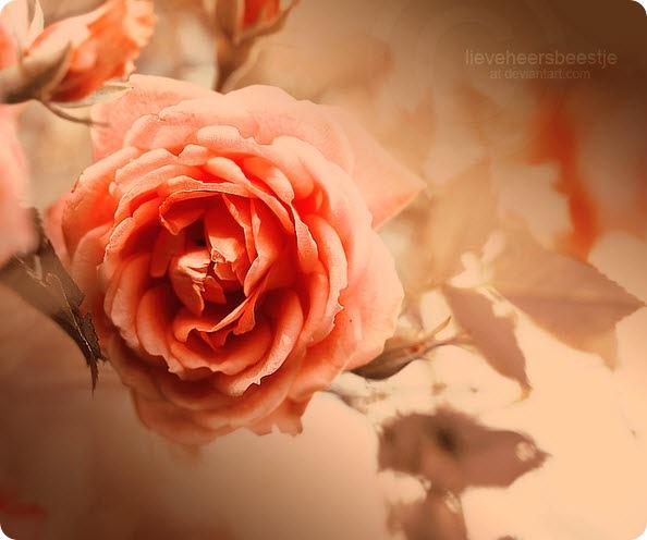 рисунок розы. яркий пример